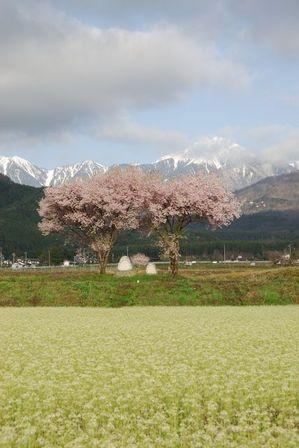 AZUMINO_20120424_1.JPG